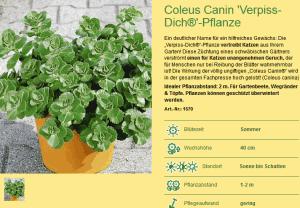 Coleus Canina Verpiss Dich Pflanze